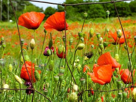 Poppy, Flower, Wildflower, Poppies, Meadow Flower