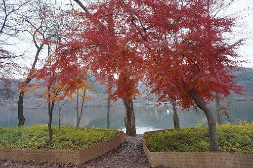 Maple, Wood, Nami, Gangwon Do, Chuncheon, Korea, Forest