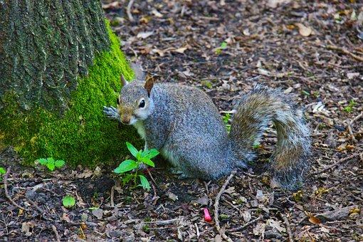 Gray Squirrel, Animal, Squirrel, Grey, Wildlife, Rodent