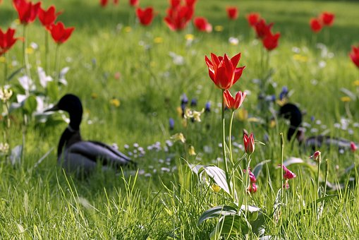 Ducks, Meadow, Fancy, Floral, Tulips, Colorful, Green