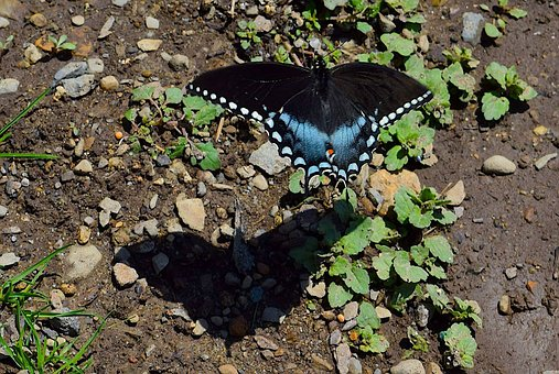 Butterfly, Blue, Black, Nature, Insect, Wing, Fly