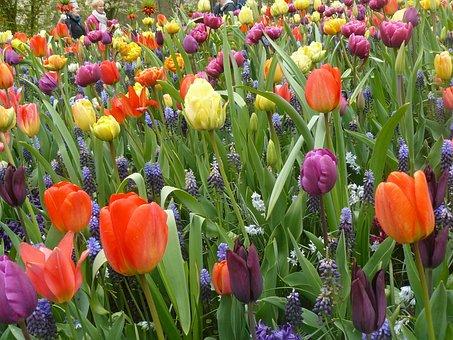 Bulbs, Spring, Mixed, Tulip Fields, Keukenhof, Tulips