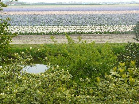 Landscape, Keukenhof, Dutch Landscape, Tulips, Holland