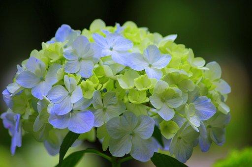 Hydrangea, Japan, Green, Rainy Season, Natural, Plant
