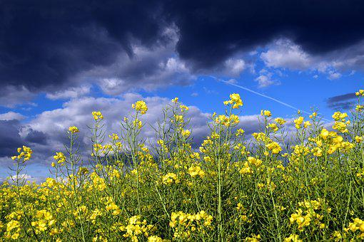 Oilseed Rape, Close, Blossom, Bloom, Nature, Yellow