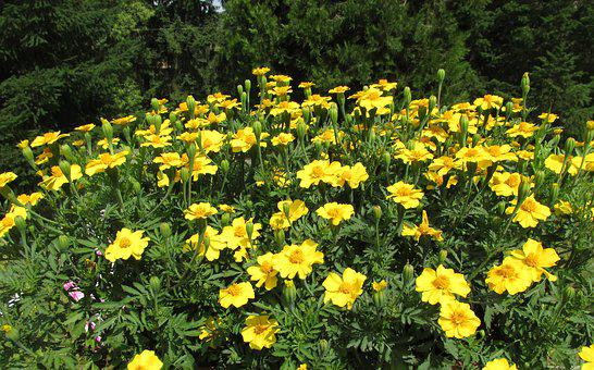 Outdoor, Nature, Plant, Marigold, Yellow, Green, Park