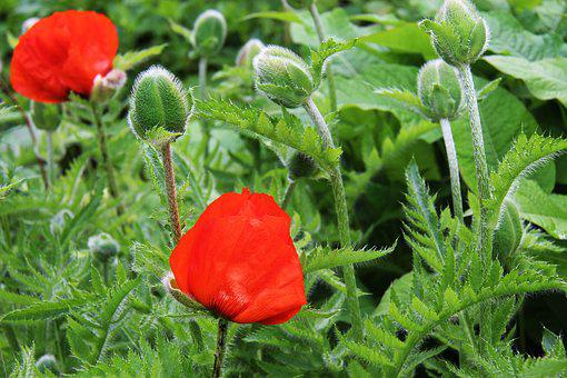Poppy, Flower, Nature, Red, Summer, Plant, Floral