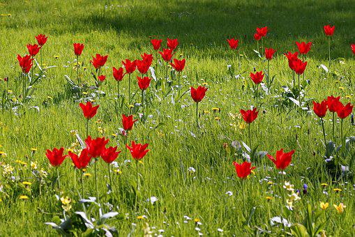 Meadow, Fancy, Floral, Tulips, Colorful, Green, Park