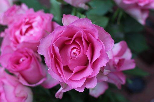 Flower, Rose, Pink, Floral, Nature, Petal, Bloom