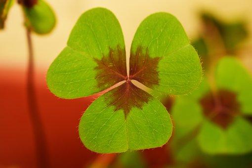 Clover, Plant, Nature