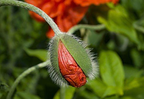 Poppy, Klatschmohn, Poppy Flower, Red, Field Of Poppies