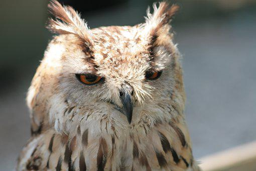 Owl, Feather, Falconer, Bird, Beak, Predator, Prey