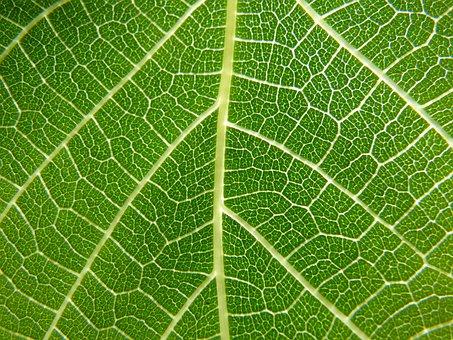 Leaf, Nerves, Detail, Fig Tree, Ramifications