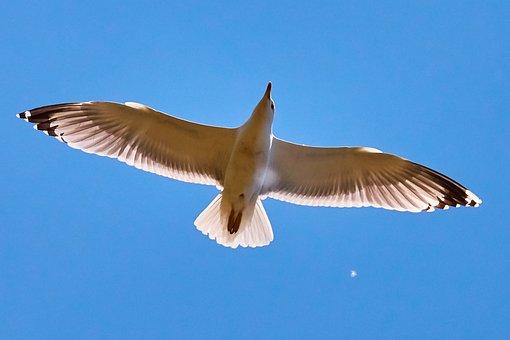 Seagull, Sky, Fly, Bird, White, Sea, Lake, Bill