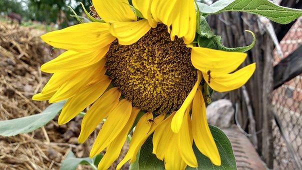 Sunflower, Sunflower Blooming, Blossom, Yellow Flower