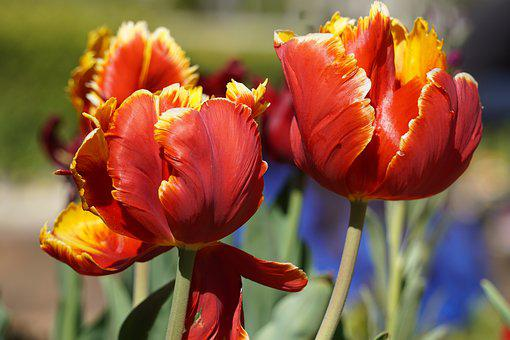Flowers, Tulips, Red, Yellow, Spring, Nature, Bloom