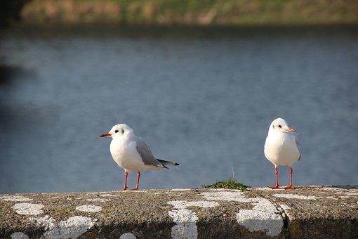 Gulls, Bird, Seagull, Birds, Water