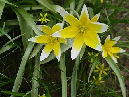 Crocuses, Spring, A Yellow Flower, Closeup