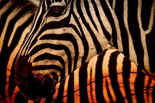 Zebra, Africa, Animal, Wildlife, Nature, Safari, Wild