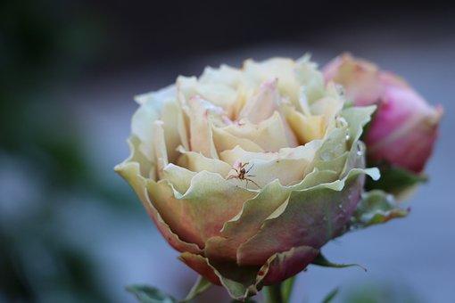 Rose, Flower, Blossom, Bloom, Garden, Spider