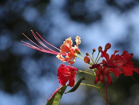 Flower, Flamboyant Tree, Tree, Brazil, Nature