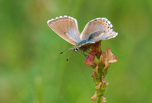 Butterfly, Azure, Nature, Macro