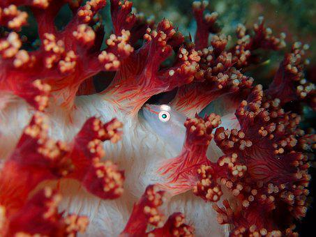 Goby, Micro Goby, Crustacean, Reef, Coral, Soft Coral