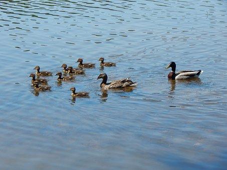 Ducks, Lake, Water, Wildlife, Pond, Nature, Waterfowl