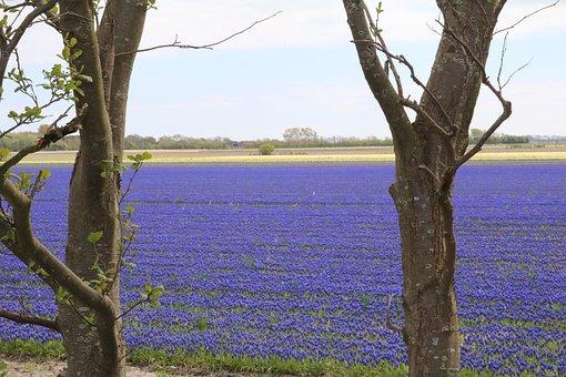 Grape Hyacinth, Blue, Field Of Flowers, Muscari, Spring