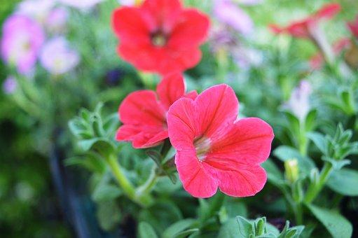 Flowers, Rossi, Garden, Background, Nature, Macro