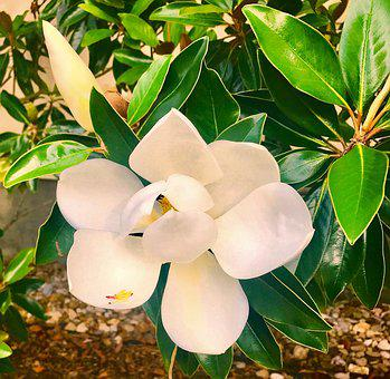Magnolia, Flower, Tree, Greenery