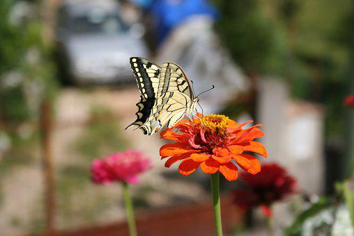 Butterfly, Flower, Nature, Insect, Calendula