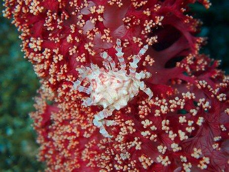 Crab, Crustacean, Reef, Coral, Soft Coral, Ocean, Sea
