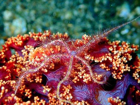 Sea Star Starfish, Reef, Coral, Soft Coral, Ocean, Sea