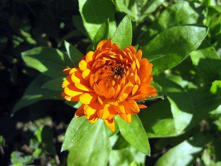 Zinie, Blossom, Bloom, Orange, Flower, Orange Flowers