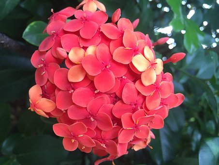 Flowers, Pentas, Garden, Green, Blossom, Cluster, Red