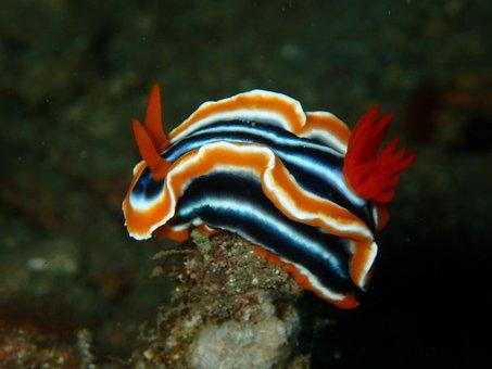 Nudibranch, Nudi Branch, Nudi, Reef, Coral, Fish, Ocean