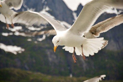 Seagull, Sky, Bird, Beak, Wildlife, Fly, Seabird