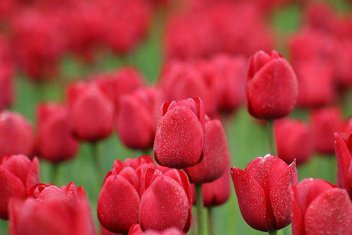 Tulips, Red, Flowers, Spring, Nature, Spring Flower