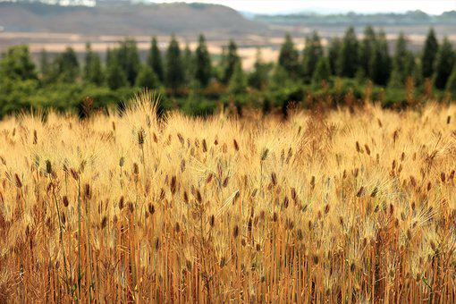 Barley Field, Landscape, Nature, Scenery, Abstract
