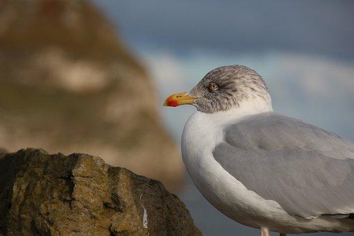 Seagull, Bird, Coast