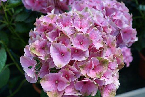 Hyazinte, Flower, Purple, Blossom, Bloom, Close, Plant