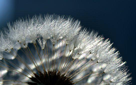 Dandelion, Close, Common Dandelion, Seeds, Macro