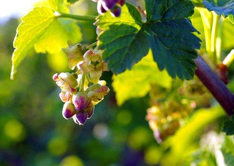 Flowers, Bloom, Black Currant, Closeup