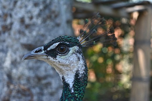 Turkey, Colors, Peacock, Fauna, Animal, Colorful
