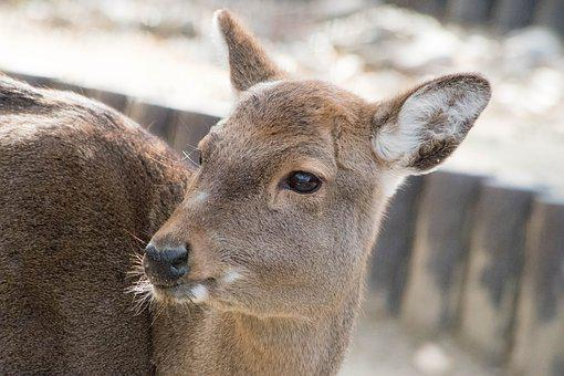 Deer, Animal, Zoo, Japan, Fawn