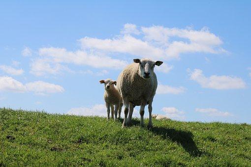 Sheep And Lambs, Dike, Sheep, Dike Sheep, Lamb, Clouds