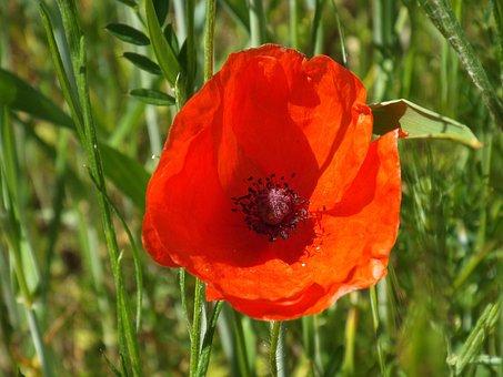 Field Flower, Meadow, Poppy Flower, Red, Pointed Flower