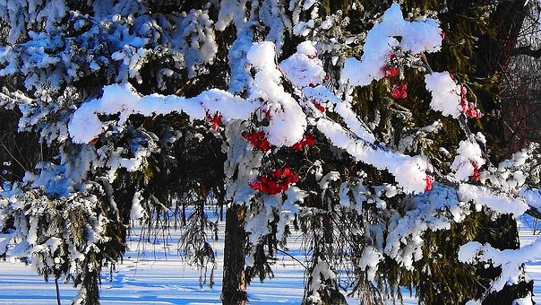 Winter, Rowan, Forest, Nature, Snow, Cluster, Branch