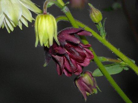 Columbine, Garden, Blossom, Bloom, Nature, Spring